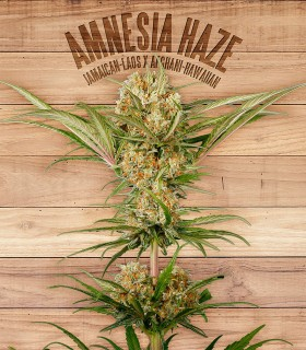 Amnesia Haze by The Plant Organics Seeds