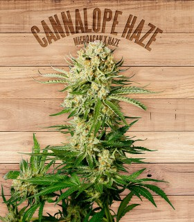 Cannalope Haze