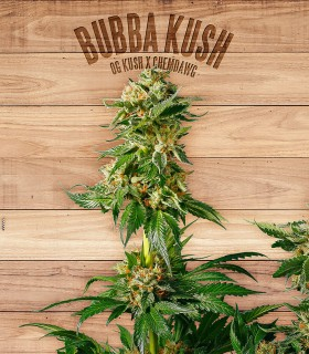 Bubba Kush by The Plant Organics Seeds