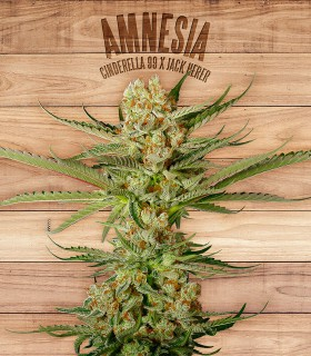 Amnesia by The Plant Organics Seeds