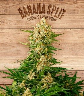 Banana Split by The Plant Organics Seeds