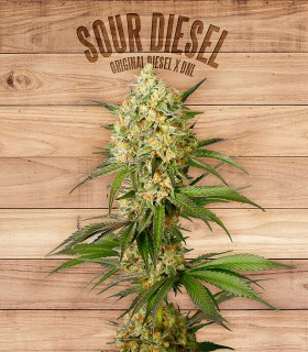 Sour Diesel by The Plant Organics Seeds