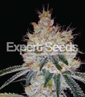 OGesus Auto by Expert Seeds