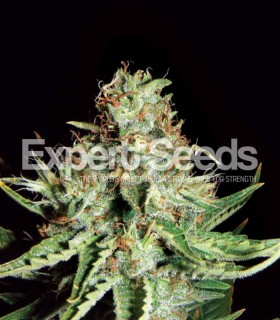 Sweet Cream Auto by Expert Seeds