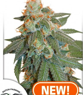 Auto Orange Bud by Dutch Passion Seeds