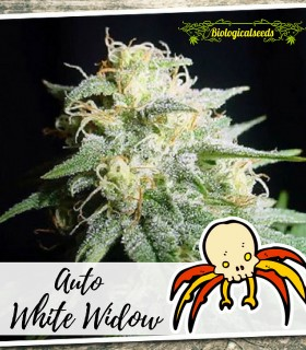 Auto White Widow