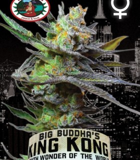 King Kong by Big Buddha Seeds