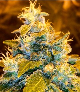 Green Bling by Holy Smoke Seeds