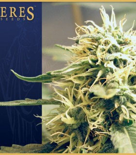 Ceres Kush by Ceres Seeds
