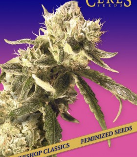 Easy Rider by Ceres Seeds