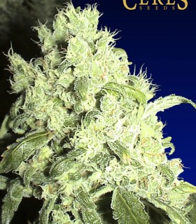 White Indica by Ceres Seeds