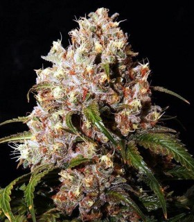 Mendo Grape Kush by Ultra Genetics Seeds