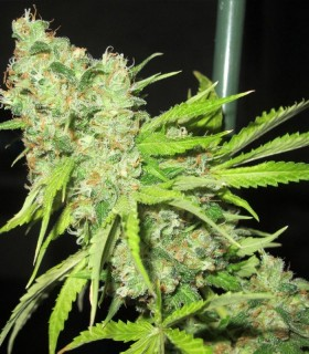 TEC 9 by Ultra Genetics Seeds
