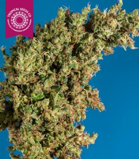 King Congo F2 - Limited Ed