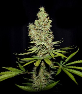 Terparella by True Canna Genetics