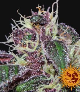 Ayahuasca Purple by Barneys Farm Seeds