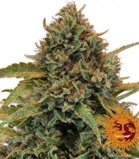 Bad Azz Kush by Barneys Farm Seeds