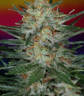 Scarlet Queen by TGA Subcool Seeds