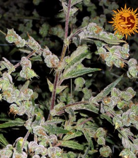 Dr. Grinspoon by Barneys Farm Seeds