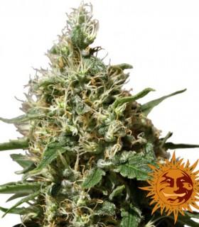 Peppermint Kush by Barneys Farm Seeds