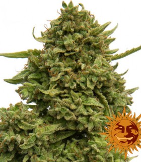 Pineapple Chunk by Barneys Farm Seeds