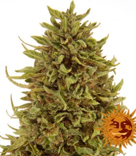 Pineapple Express by Barneys Farm Seeds