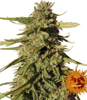 Red Cherry Berry by Barneys Farm Seeds