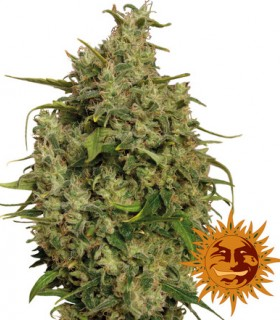 Sweet Tooth by Barneys Farm Seeds