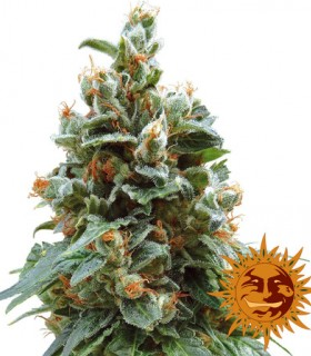 Vanilla Kush by Barneys Farm Seeds