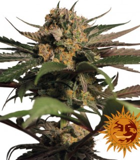 Violator Kush by Barneys Farm Seeds