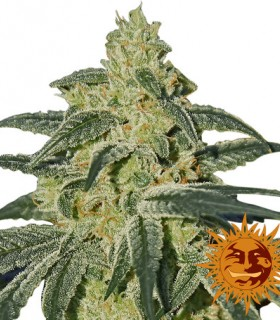 Afghan Hash Plant by Barneys Farm Seeds