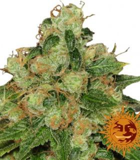 CBD Caramel by Barneys Farm Seeds