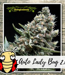 Auto Lady Bug 2.0 by Biological Seeds