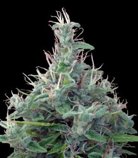 Libano CBD by Ace Seeds