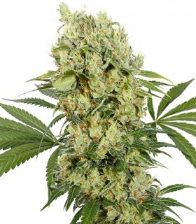 Medikit CBD by Buddha Seeds