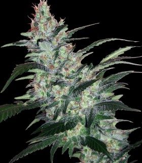 OG Kush Express Auto by Xtreme Seeds