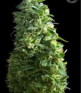 Lime Skunk by Bulk Seed Bank