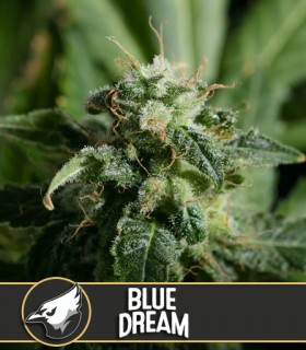 Blue Dream by Blimburn Seeds