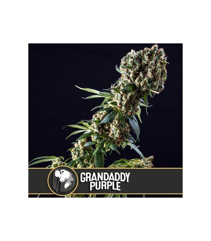 Granddaddy Purple