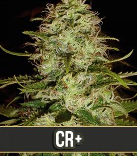 CR+ by Blimburn Seeds