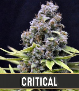 Critical Automatic by Blimburn Seeds