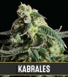 Kabrales Automatic by Blimburn Seeds
