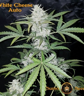 White Cheese Auto