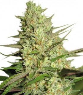 Special Queen 1 by Royal Queen Seeds