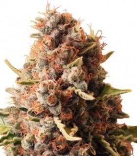 Euphoria de Royal Queen Seeds