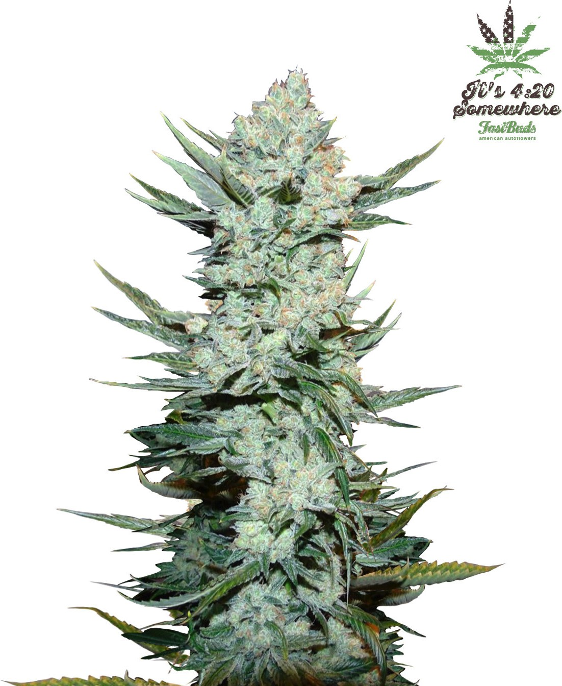 buy fastbuds seeds tangie matic auto   cannabis seeds
