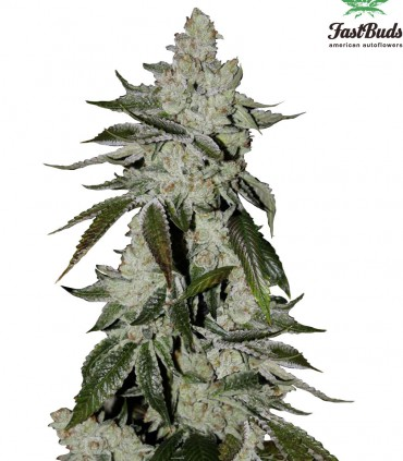 buy fastbuds seeds girl scout cookies auto   cannabis seeds