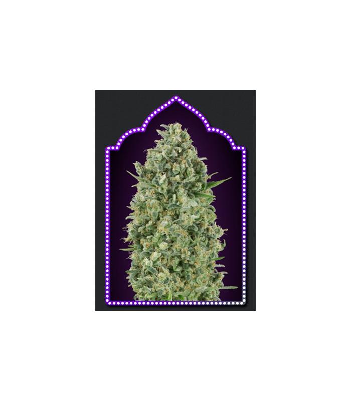 Acheter 00seeds bank critical poison graines de cannabis for Acheter poison