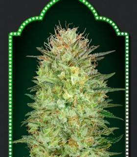 Sweet Critical Auto by 00Seeds Bank