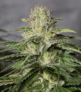 OG Kush CBD by Medical Seeds